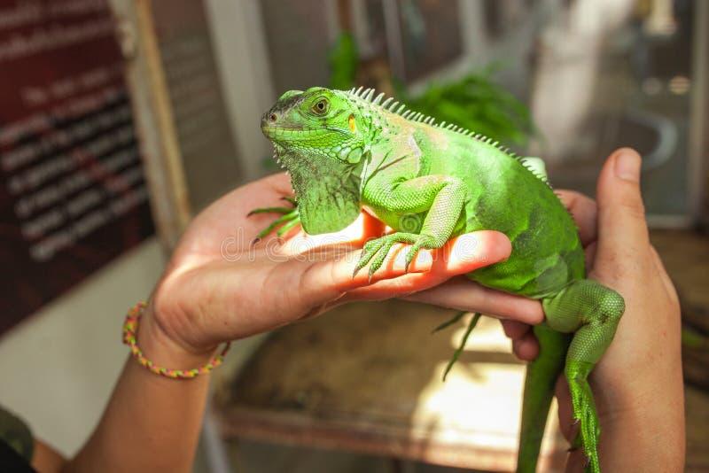 Duża zielona iguana na ludzkiej ręce obraz stock