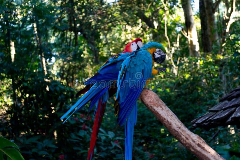 Duże błękitne i czerwone obcojęzyczne aron papugi w zoo zdjęcie royalty free