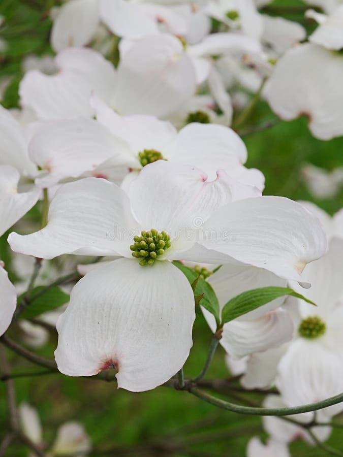Duże białe kwiaty kwitnącego drewna, drzewa pochodzącego ze wschodniej Ameryki Północnej i północnego Meksyku, nazwa łacińska Cor obraz stock