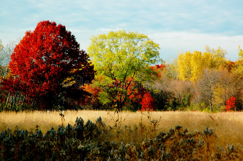 duże drzewo liści jesienią obraz royalty free