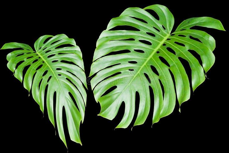 duże liście tropikalne ilustracji