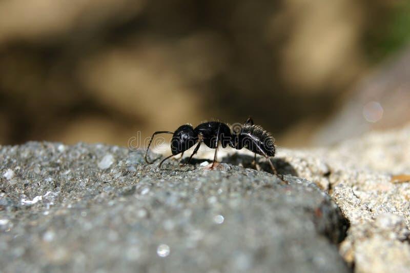 duże mrówki. zdjęcie stock