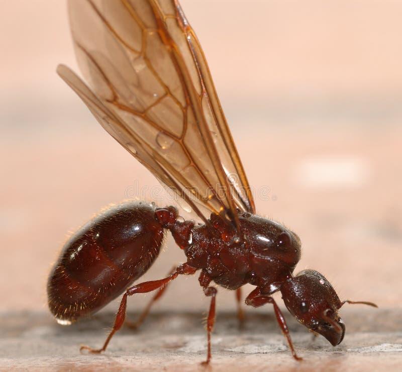 duże mrówki skrzydła obraz stock
