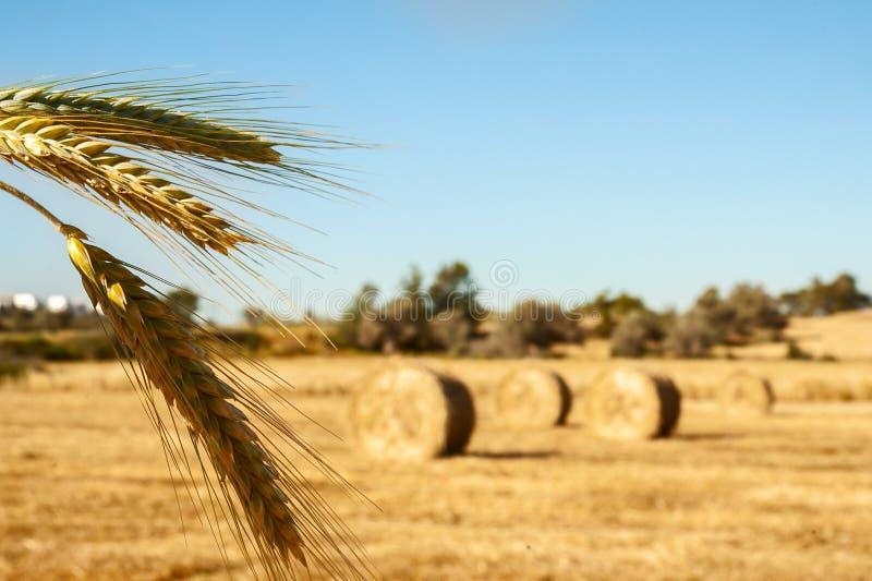 Duże round bele słoma, snopy, haystacks na polu w th fotografia royalty free