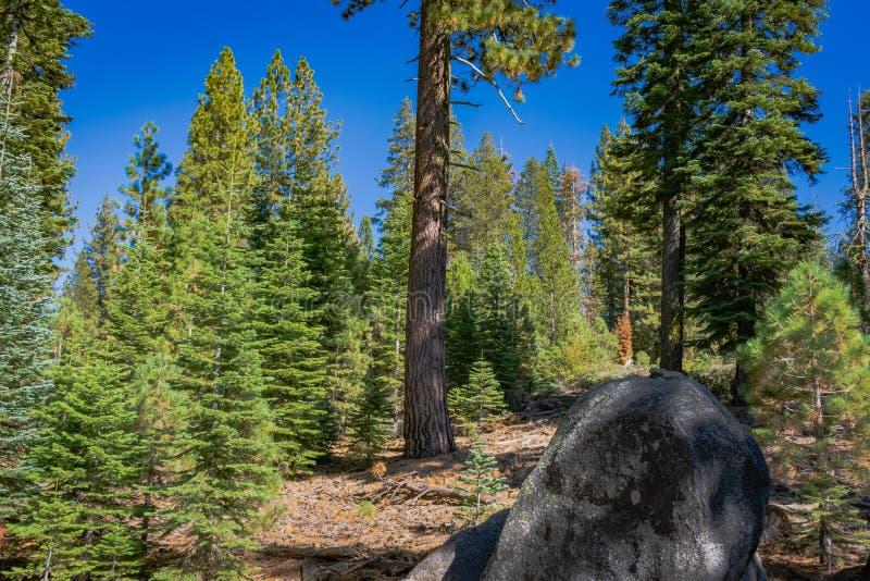 Du?e sosny w Yosemite i ska?a zdjęcia royalty free