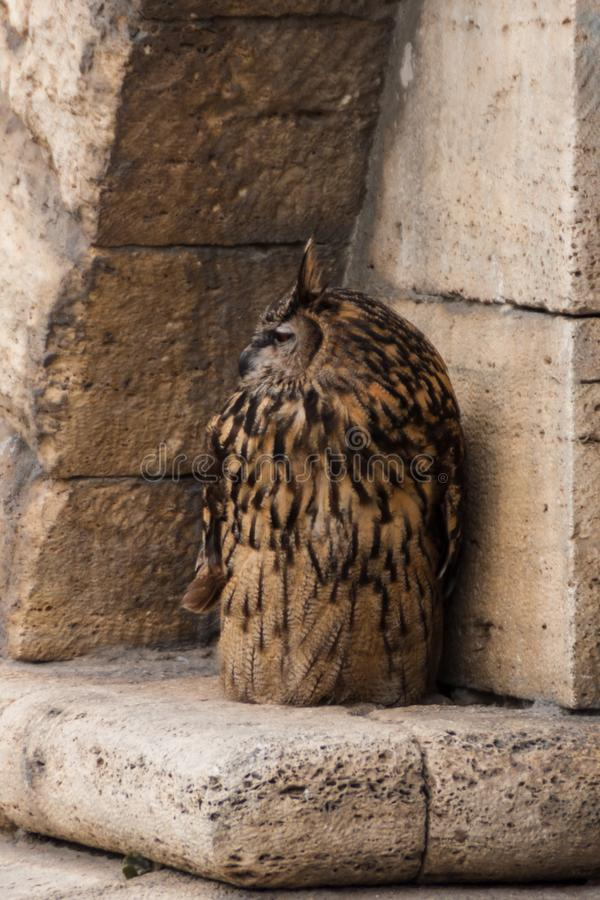 Dużego brązu słysząca sowa siedzi na starej żółtej piaskowcowej kamiennej ścianie Dymienicy dymienica, Eurazjatycka sowa zdjęcie stock