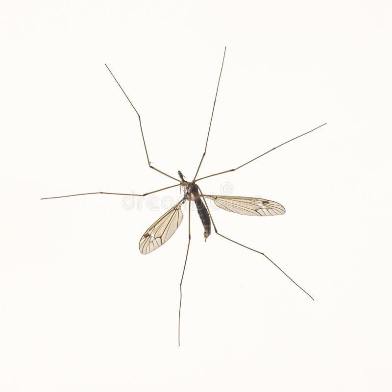 Dużego komara makro- nadmierny biel zdjęcia royalty free