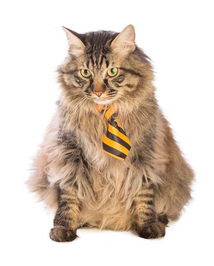 Dużego kota norweg siedzi z żółtym krawatem zdjęcia royalty free