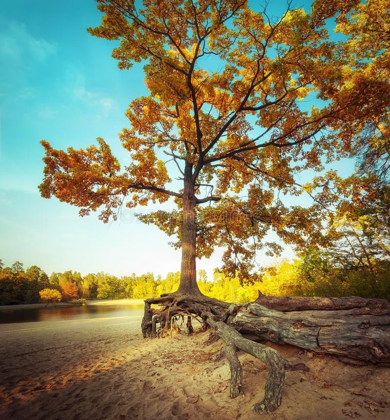 Dużej osamotnionej jesieni dębowy drzewo przy piaskowatym jeziora wybrzeżem fotografia stock