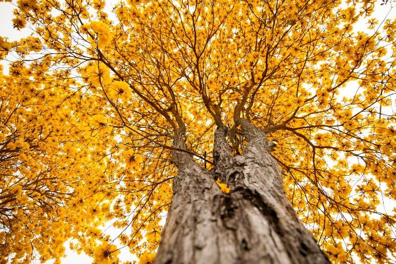 Duży Żółty drzewo zdjęcia royalty free