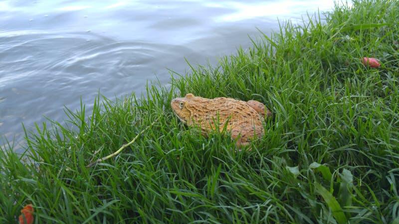 Duży żółty żaba pobyt blisko jeziora zdjęcia royalty free