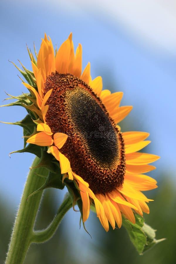 Duży żółty słonecznik fotografia royalty free