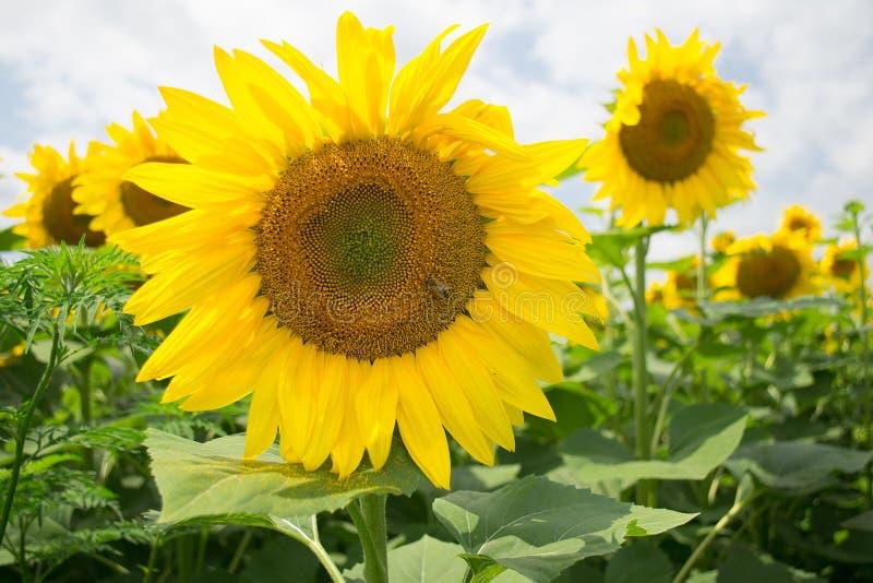 Duży żółty słonecznik na tle rozmyci słoneczniki mali na zewnątrz strefy ciętość obrazy royalty free