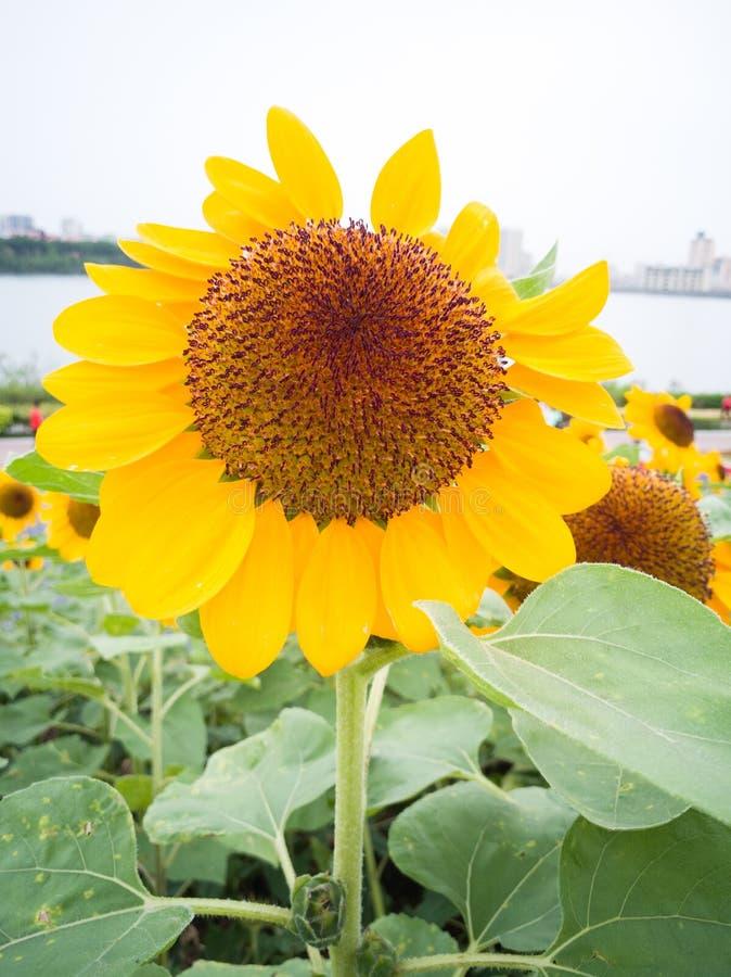 Duży żółty słonecznik obok jeziora fotografia royalty free