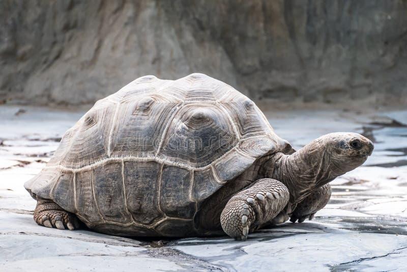Duży żółw rusza się wolno zdjęcie stock