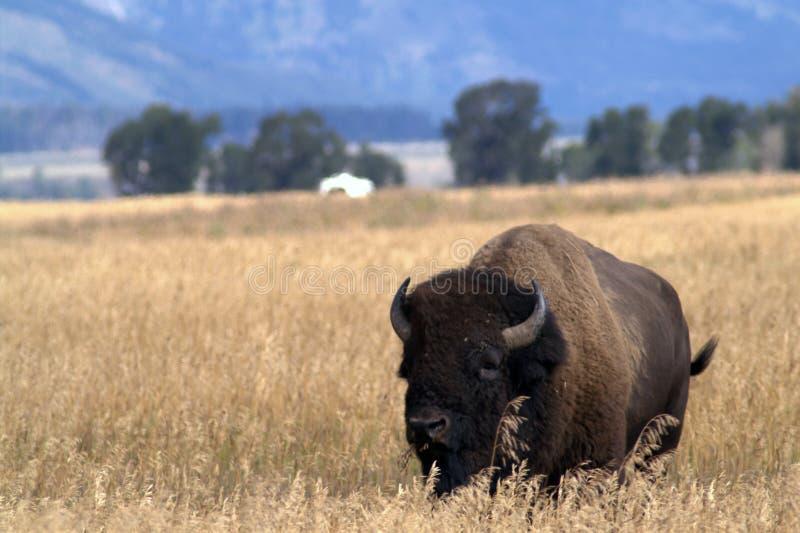 Duży żubr w Amerykańskich preriach obraz royalty free