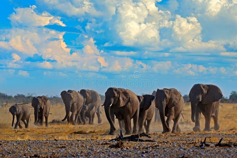 Duży Afrykańskich słoni stado z niebieskim niebem i białymi chmurami, Etosha NP, Namibia w Afryka Słoń w żwiru piasku, pora sucha zdjęcie royalty free