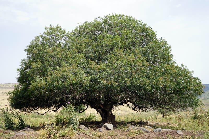 Duży akacjowy drzewo obraz stock