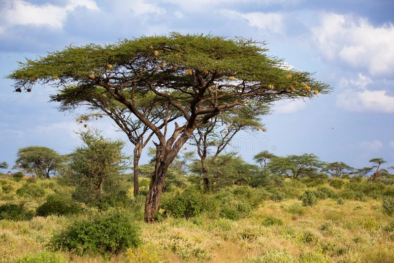 Duży akacjowy drzewo między innymi roślinami i krzakami zdjęcie royalty free