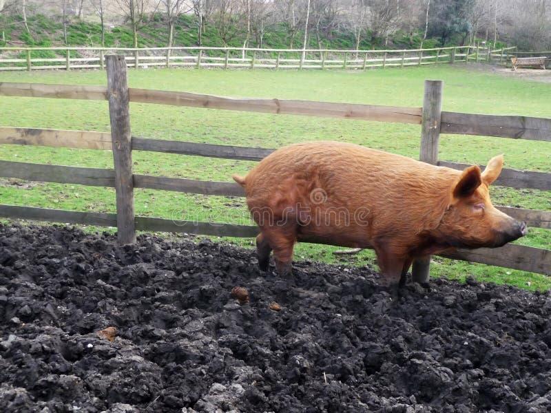 duży błotnista świnia zdjęcia stock