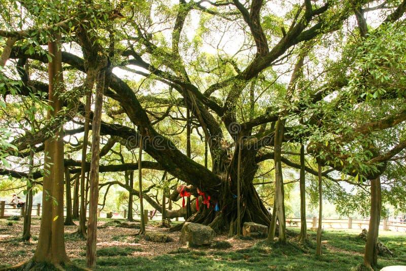 Duży banyan drzewo w Guilin, porcelana obrazy stock