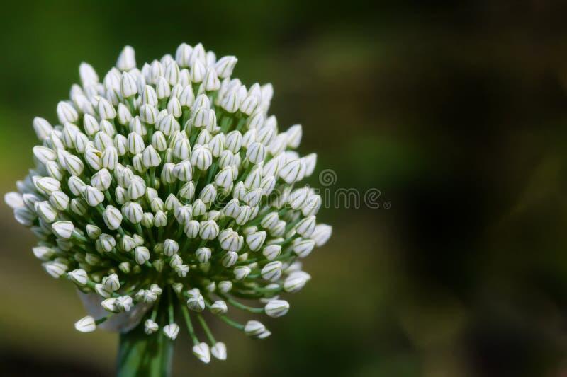 Duży białej cebuli kwiat w ogródzie obrazy stock