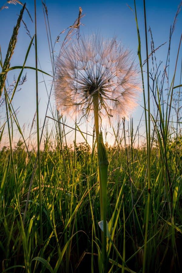 Duży biały dandelion zdjęcie stock