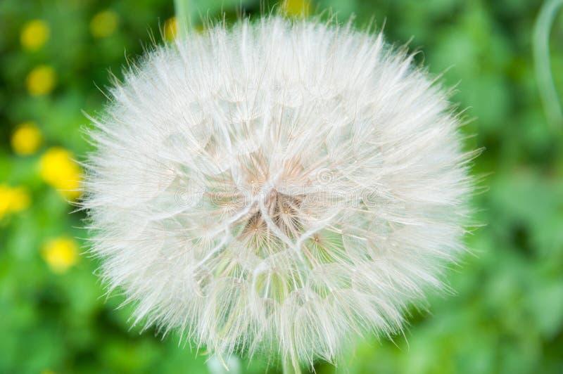 Duży biały i puszysty dandelion r w lecie na gazonie przeciw tłu obrazy royalty free