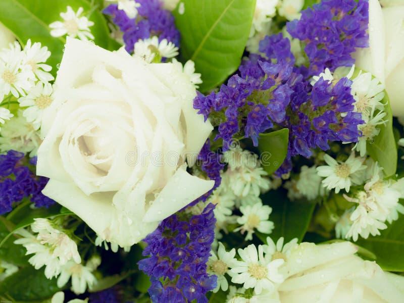 Duży biel róży kwiat z błękitnym kwiatu tłem małym x28 &; miękka część fo fotografia stock