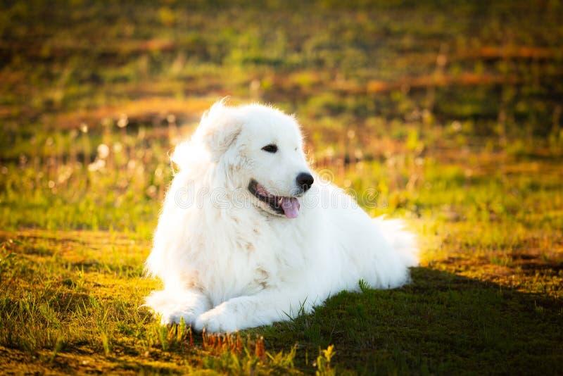 Duży bielu psa lying on the beach na mech w polu przy zmierzchem Śliczny maremma sheepdog Trzciny da pastore Maremmano-Abruzzese obraz stock