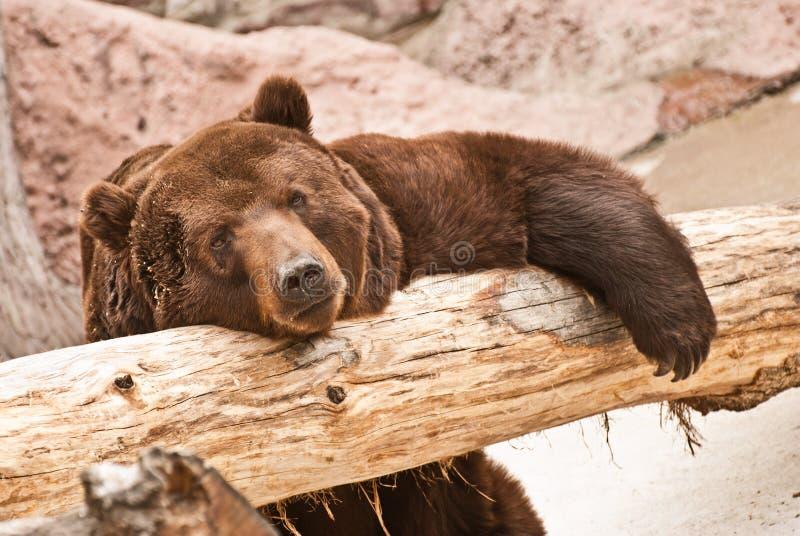 duży brązowy niedźwiedź zdjęcia stock
