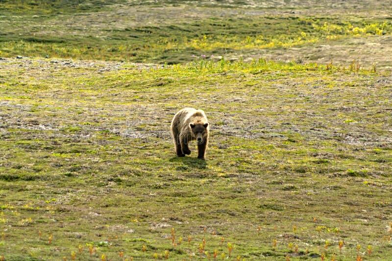 Duży brown niedźwiedź chodzi w Katmai fotografia royalty free
