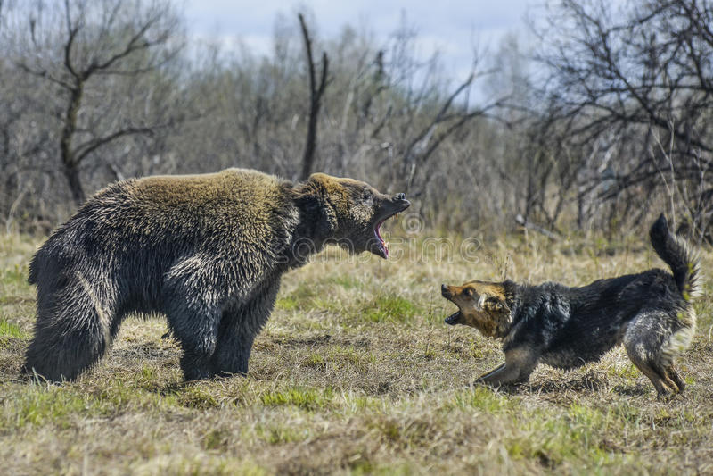 Duży Brown niedźwiedź z psem zdjęcia royalty free