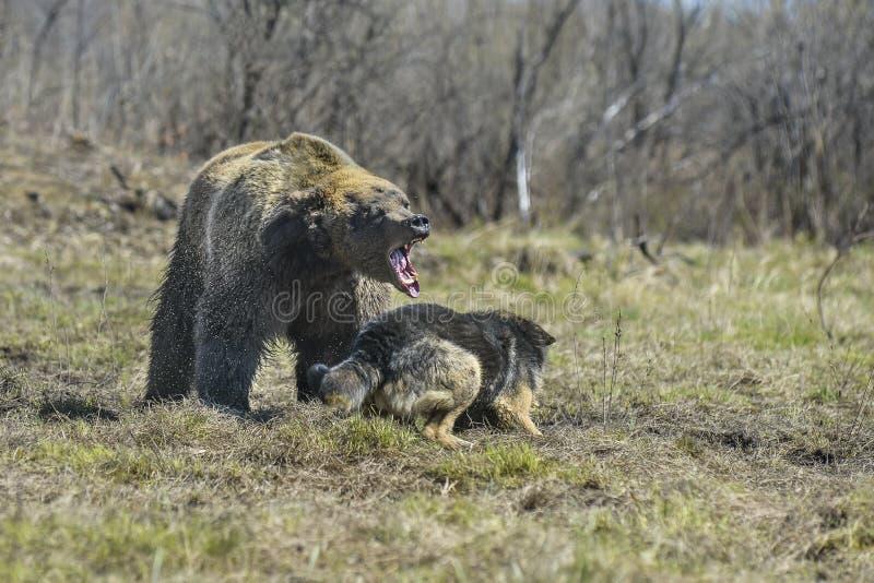 Duży Brown niedźwiedź z psem obrazy royalty free