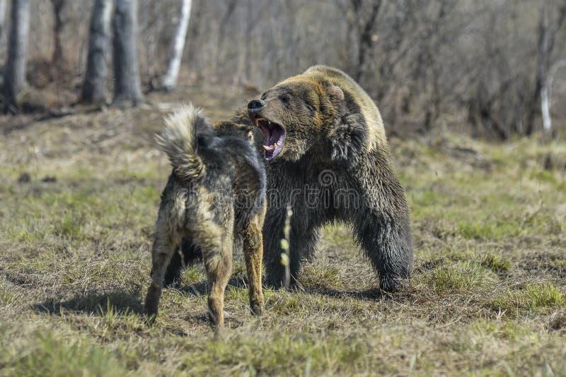 Duży Brown niedźwiedź z psem fotografia stock