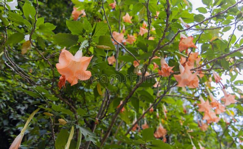 Duży Brugmansia dzwonił Anioła Roztrąbiający lub datura kwiaty zapadają się od gałązki obrazy stock