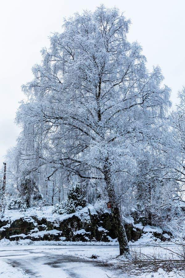 Duży brzozy drzewo zakrywający w śniegu Piękny zima dzień przy Odderoya w Kristiansand, Norwegia zdjęcie royalty free