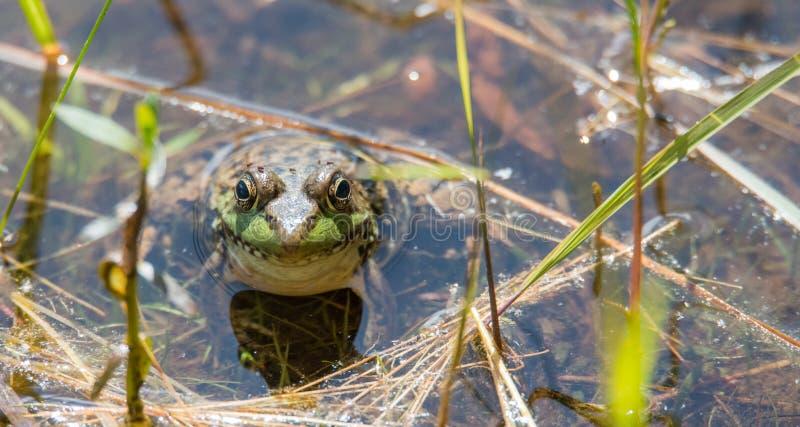 Duży bullfrog stronniczo zanurzający, grże n słońce Patrzeje kamerę zdjęcie royalty free
