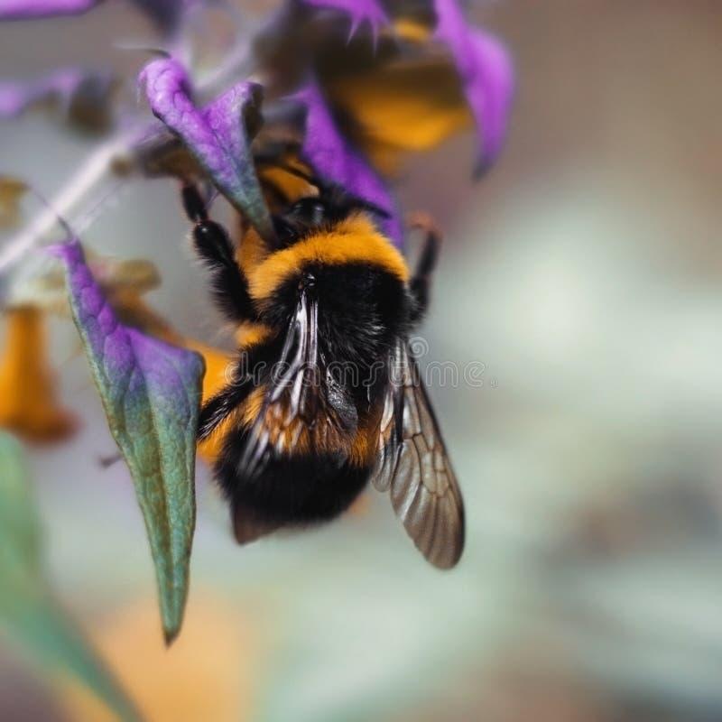 Duży bumblebee z żółtymi czerń lampasami i textured skrzydłami Bumblebee zamknięty w górę obsiadania na żółtej purpurze kwitnie b zdjęcia royalty free