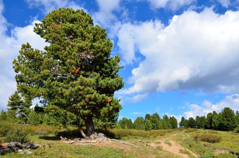 Duży cedr w Altai w lecie zdjęcie stock