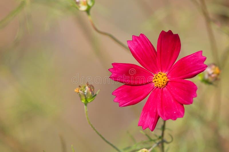 Duży cosmosï ¼ ˆGesang flowersï ¼ ‰ obraz royalty free