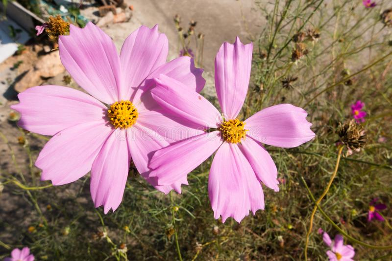 Duży cosmosï ¼ ˆGesang flowersï ¼ ‰ fotografia stock