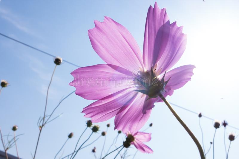 Duży cosmosï ¼ ˆGesang flowersï ¼ ‰ zdjęcia stock