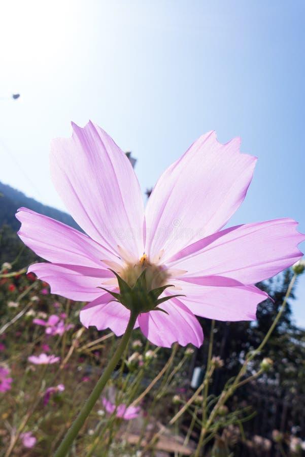 Duży cosmosï ¼ ˆGesang flowersï ¼ ‰ zdjęcie royalty free