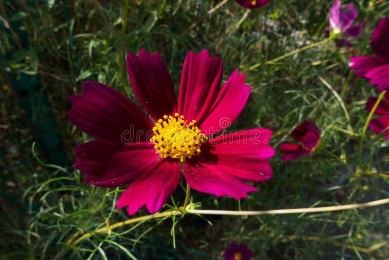 Duży cosmosï ¼ ˆGesang flowersï ¼ ‰ zdjęcie stock