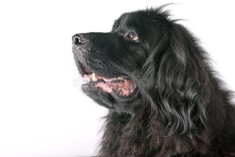 Duży czarnego psa portret zdjęcie royalty free