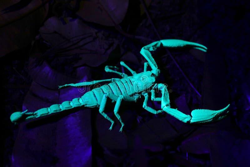 Duży Czarny cesarza skorpionu Heterometrus longimanus pod ULTRAFIOLETOWYM światłem w Bornean dżungli, Sarawak, Malezja zdjęcie stock