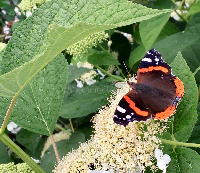 Duży czarny motyli monarcha chodzi na roślinie z kwiatami zdjęcia royalty free