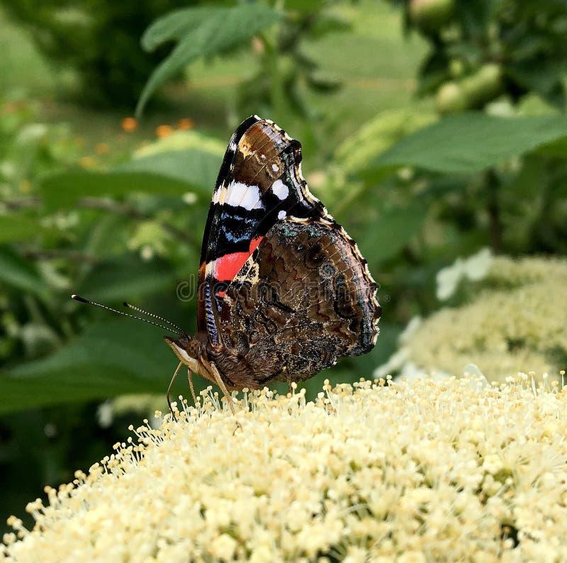 Duży czarny motyli monarcha chodzi na roślinie z kwiatami zdjęcia stock
