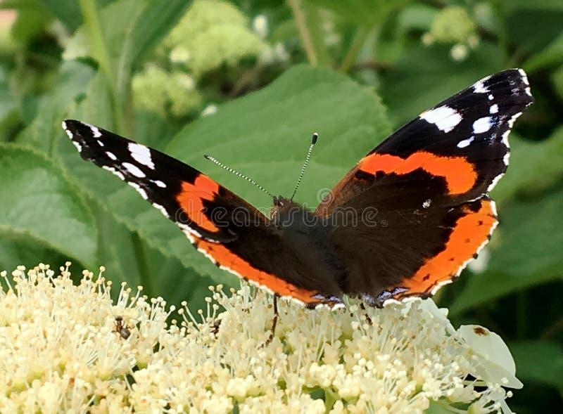 Duży czarny motyli monarcha chodzi na roślinie z kwiatami obraz stock